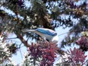 Azulejo comiendo en la Acacia