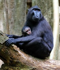 Tangkoko Nature Reserve, Black Crested Macaque with Baby