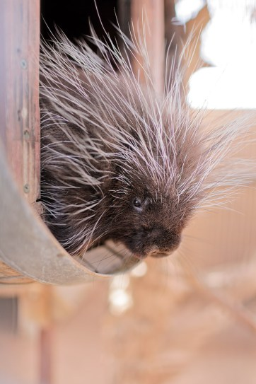North American Porcupine.