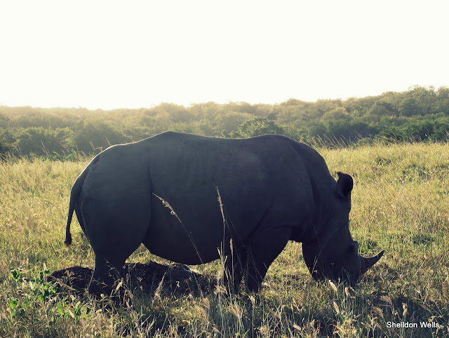 White rhino in the Hluhluwe Imfolozi game reserve