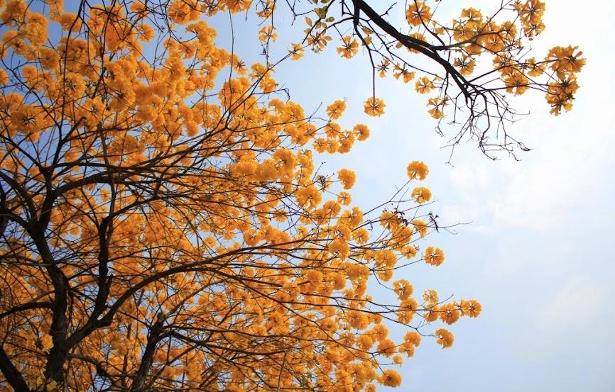 台南中西區,黃花風鈴木-4