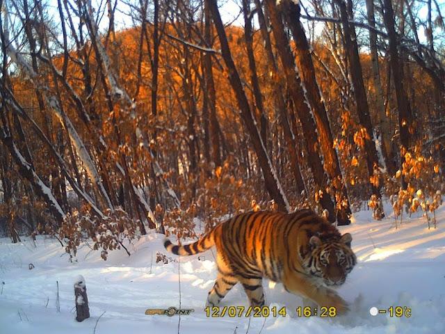 тигрица Илона