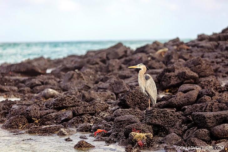 Great Blue Herons - Galapagos Birds.