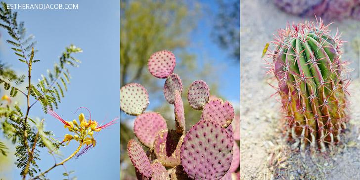 Desert Bird of Paradise (Caesalpinia gilliesii) on left,  Purple Pancake Cactus (Opuntia santa-rita) in the middle, and Red Barrel Cactus (ferocactus pilosus) on the right.