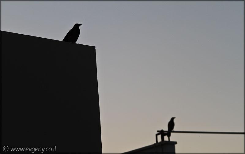 Я ворона