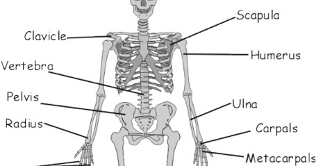 Smartboard Links: Grade 5: Bones and Muscles