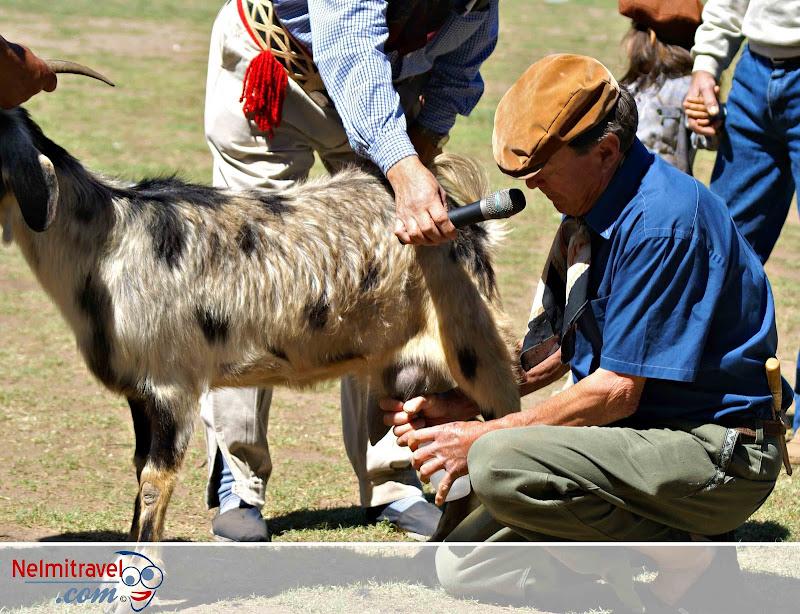 A gaucho milking a goat