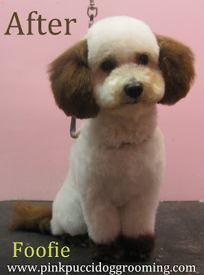 Foofie The Maltipoo Dog Grooming Makeover Pink Pucci