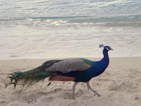 Peacock at Playa Palancar