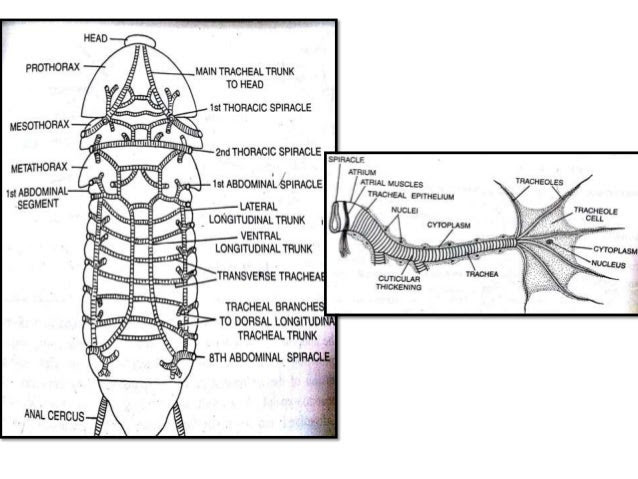 Wiring And Diagram: Labelled Diagram Of Nervous System Of