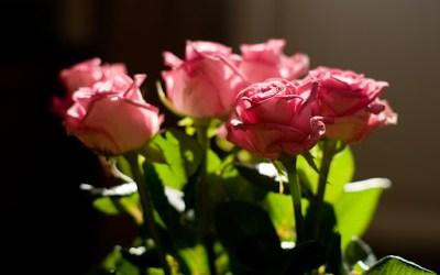 aesthetic pink light roses