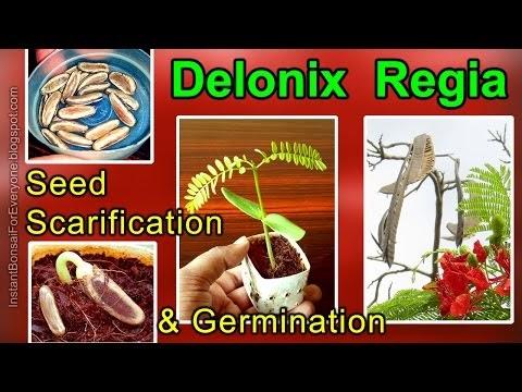 Instant - Bonsai - For - Everyone: Scarification & Germination Of Delonix Regia Seeds (Royal Poinciana / Gulmohar Tree)
