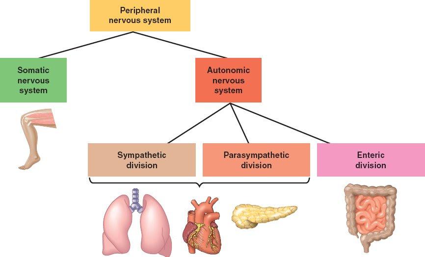 reiwalomy: somatic nervous system