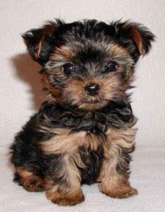 Free Yorkies Indiana : yorkies, indiana, Yorkie, Puppy, Indiana, PetsWall
