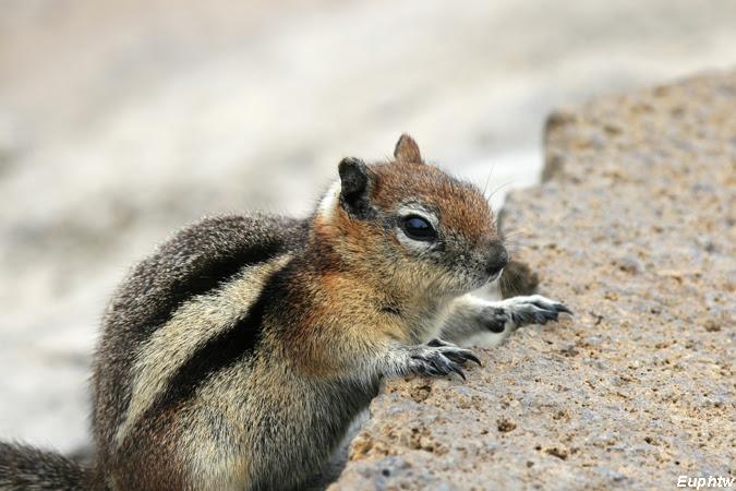 蔚藍手札: 黃石國家公園Safari—鼠輩篇