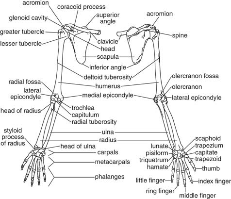Student Clinic!: anatomy pic 2 : ~ upper limb~