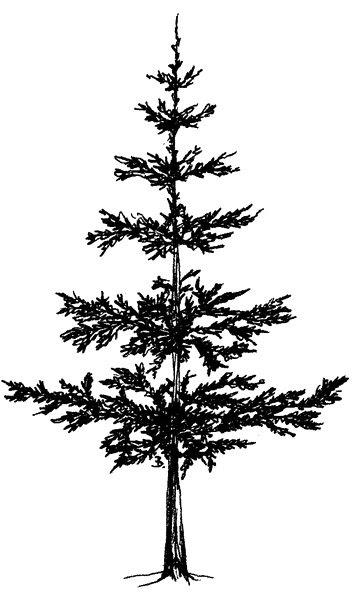 Pine Tree Line Drawing : drawing, Drawing, Skill: