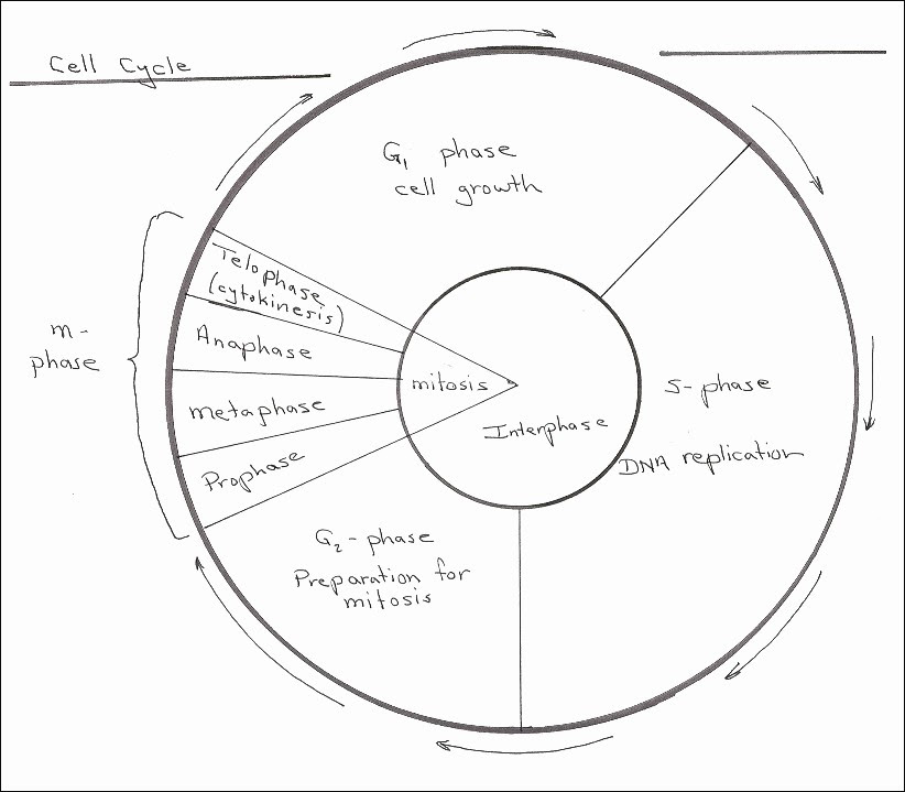 Cellular Transport And The Cell Cycle Worksheet Answers