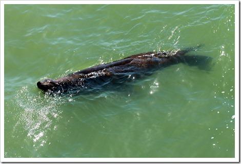Морской лев очень задорно плавал и наслаждался водой, прямо-таки можно было ему позавидовать.