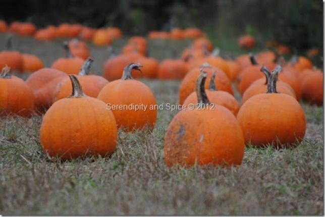 red wolf pumpkin patch
