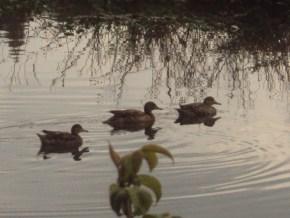 Humedal la Conejera, pato andino