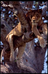 Tree climbing Lion in Ishasha sector, Queen Elizabeth National Park