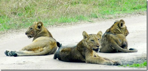 A herd of lions in Kasenyi plains, Queen Elizabeth National Park