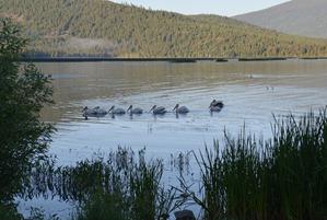 the morning pelican parade