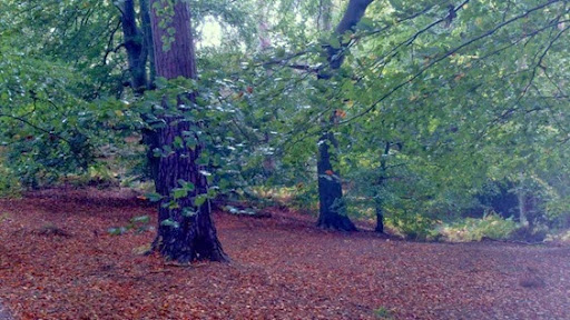 Beech woodland at Nesscliffe