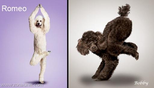 Anjing Senam Yoga (12)
