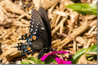 Spicebush Swallowtail Butterfly, Dunnhill