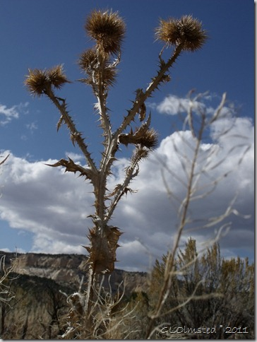 08 Dried thistle along Johnson Canyon Rd UT (768x1024)