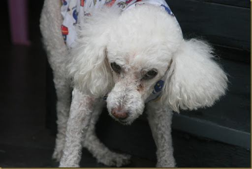 Ranter, poodle machucado e traumatizado