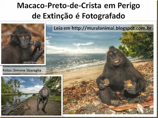 Macaco-Preto-de-Crista em Perigo