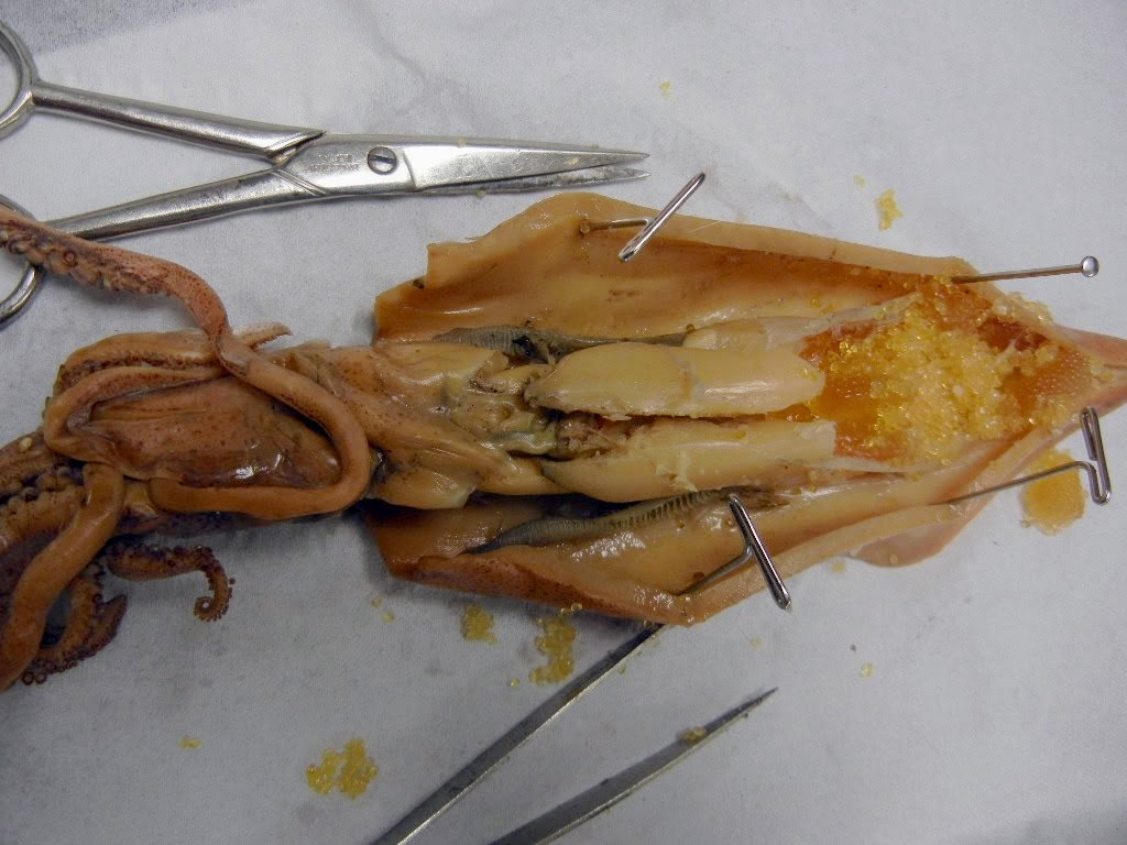 Squid Dissection Diagram