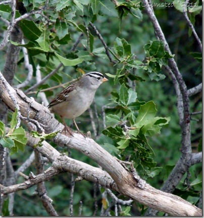 05 White-crowned sparrow Yarnell AZ (959x1024)