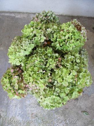 drying hydrangeas (2)
