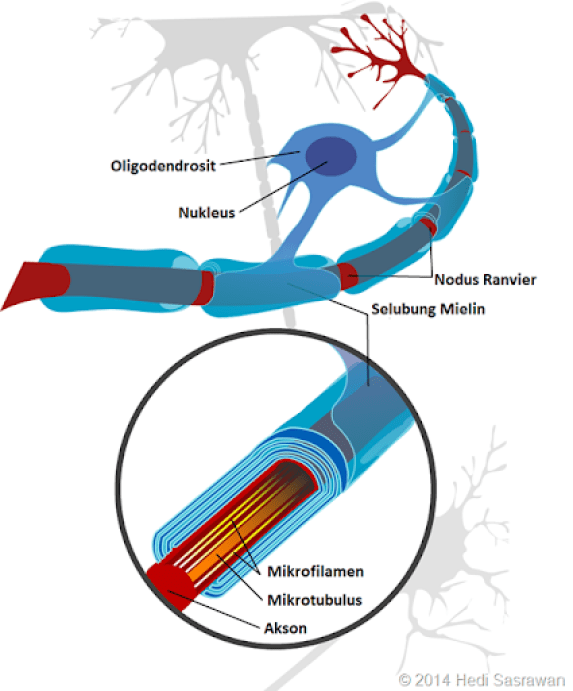 oligodendrosit