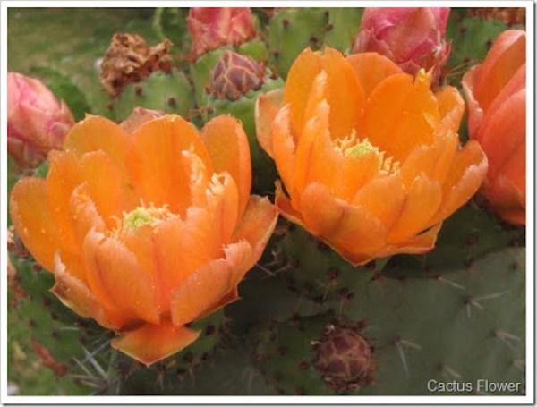 Flor del Nopal