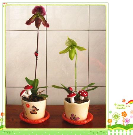 您好花園: 仙履蘭(拖鞋蘭)小品盆栽