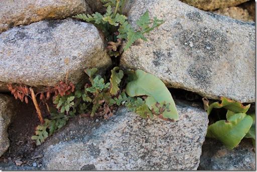 Asplenium scolopendrium, Hirschzunge (das flächige)