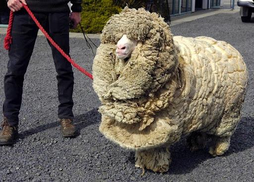 shrek-the-sheep-1