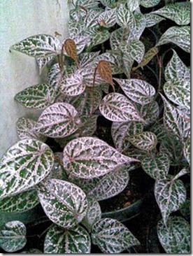 Manfaat Sirih merah, tanaman obat multi fungsi