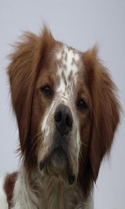 Brittany Spaniel Wallpapers screenshot 1