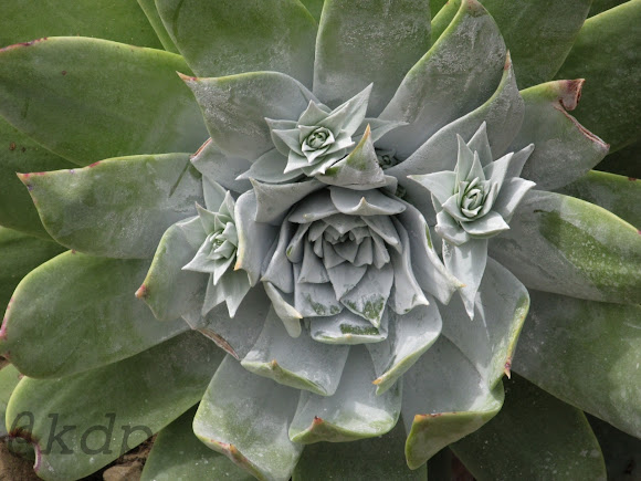 chalk dudleya project noah