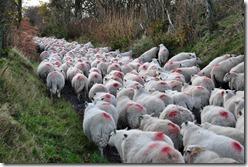 Sheep II