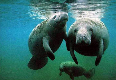three manatees - two in the foreground, one in the background