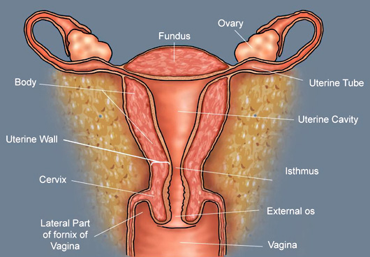 The uterus labeled