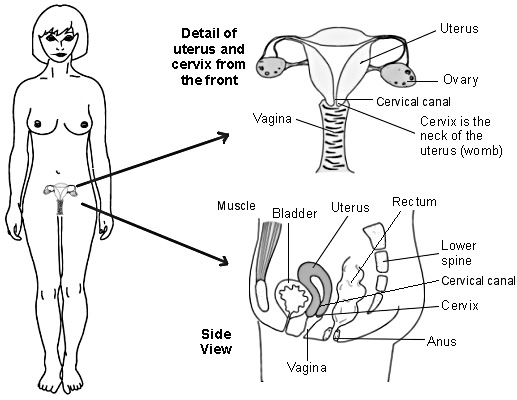 Diagram detailing the uterus and cervix