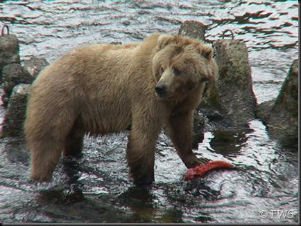 bear_salmon